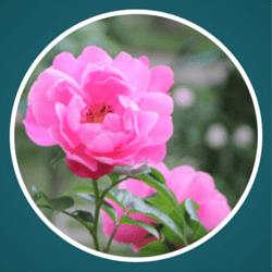 Dankbarkeit - Rose